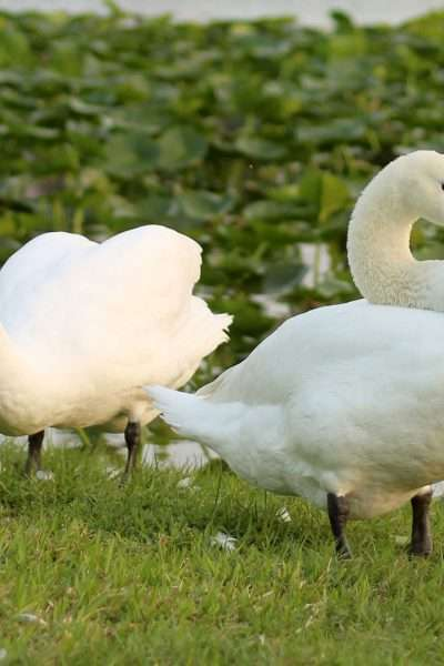 searching for swans is one of the fun things to do in lakeland. picture of swans