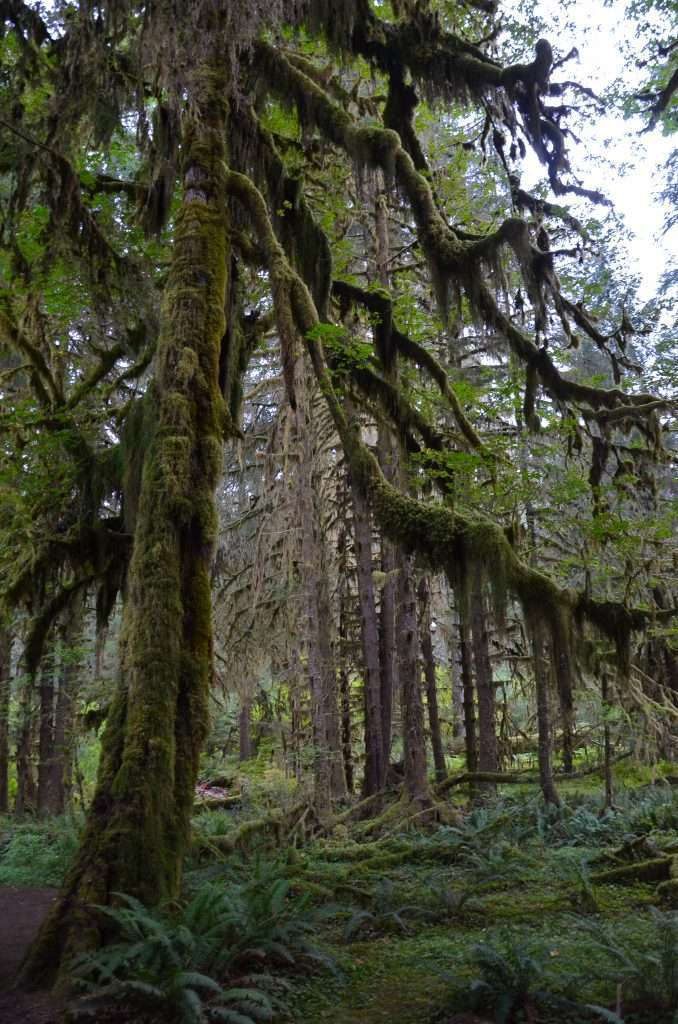 usa, america, tree, hoh rainforest a best place to travel with teens